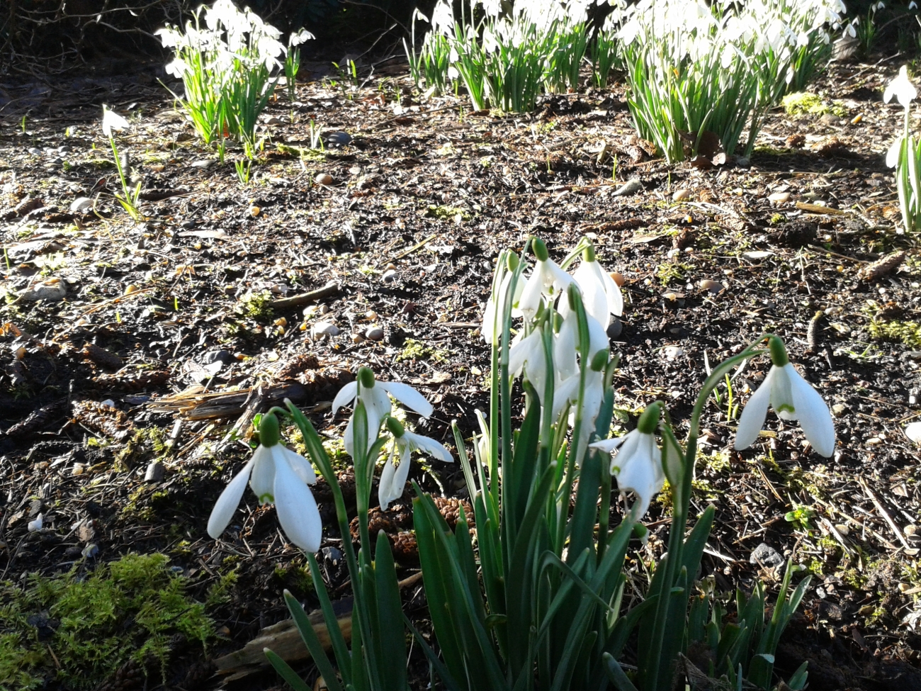 Snowdrops at Coombe Wood