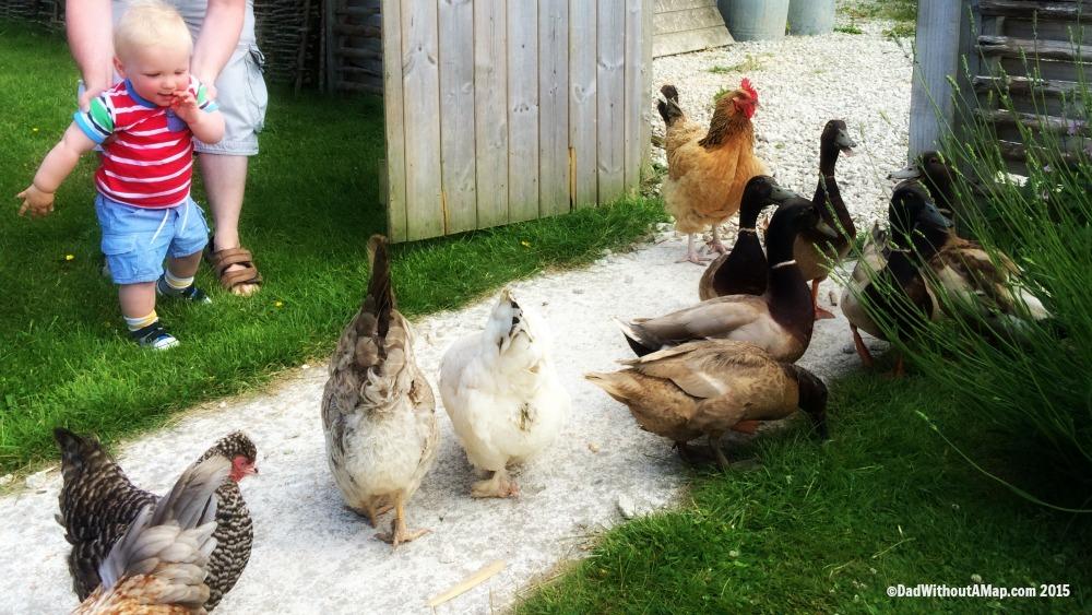 B chasing ducks and hens