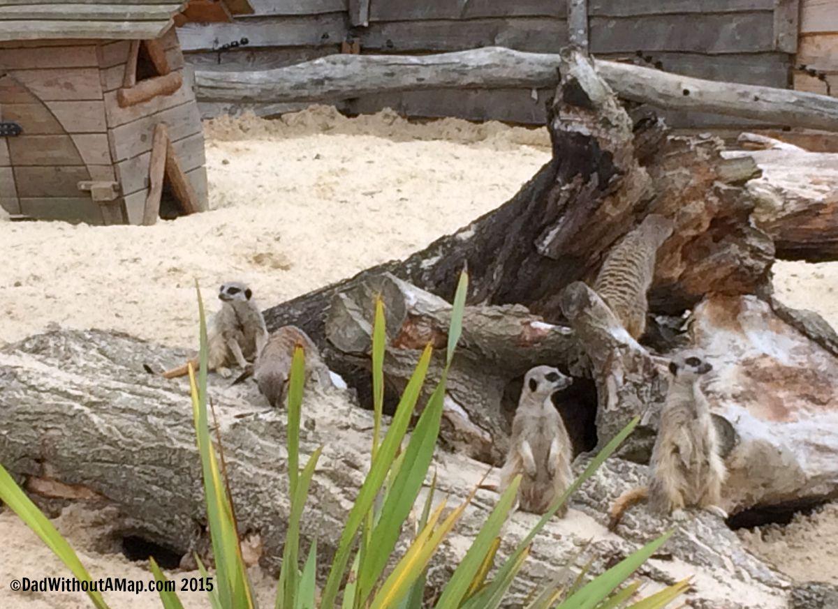 Hobbledown - meerkats